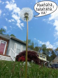 The Dandelion That Ate Maryland
